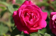Historische Rose 'Ulrich Brunner fils'
