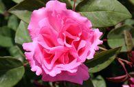 Historische Rose 'Zephirine Drouhin'