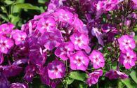 Hohe Flammenblume 'Purple Kiss'
