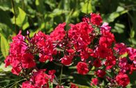 Hohe Flammenblume 'Red Riding Hood'