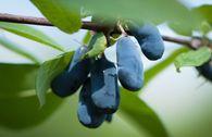 Honigbeere / Sibirische Blaubeere 'Kalinka' ®