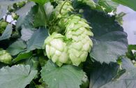 Hopfen 'Northern Brewer'