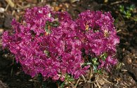 Rhododendron 'W. W. Smith'