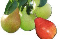 Familienbaum Birne - 3 verschiedene Sorten