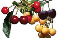 Familienbaum Kirsche - 3 verschiedene Sorten