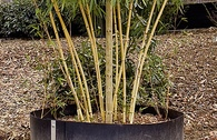 Dinies Bambus-Wurzelsperre