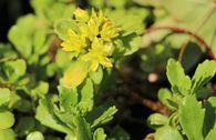 Immergrünes Fettblatt 'Immergrünchen'