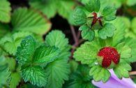 Indische Schein-Erdbeere