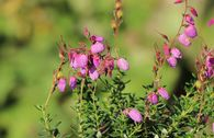 Irische Heide 'Globosa Pink'