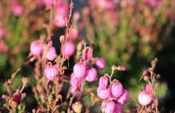 Irische Heide 'Rosella'