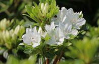 Japanische Azalee 'Kermesina Alba'