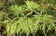 Japanischer Ahorn 'Green Cascade'