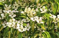 Japanischer Blumen-Hartriegel 'Goldstar'