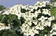 Japanischer Blumen-Hartriegel
