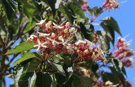 Japanischer Losbaum