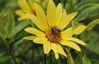 Kleinköpfige Sonnenblume 'Lemon Queen'