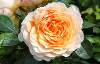 Kletterrose 'Ginger Syllabub'