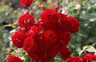 Kletterrose Starlet® Rose 'Natalie' ®