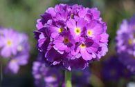 Kugel-Primel, blauviolett