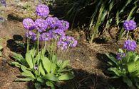 Kugel-Primel 'Grandiflora'