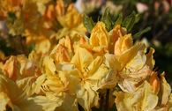 Laubabwerfende Azalee 'Windsor Sunbeam'
