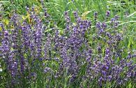 Lavendel 'Dwarf Blue'