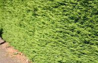 Leyland-Zypresse / Grüne Baumzypresse / Riesenzypresse