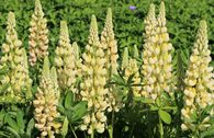 Lupine 'Camelot Yellow' ®