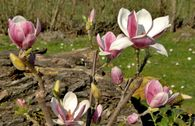 Magnolia 'Satisfaction' ®