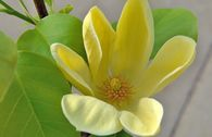 Magnolie 'Yellow Bird'