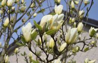 Magnolie 'Yellow River'