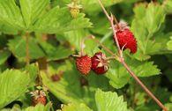 Monats-Erdbeere 'Rügen'