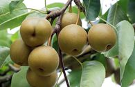 Nashi / Asienbirne / Asiatische Apfelbirne 'Kosui'