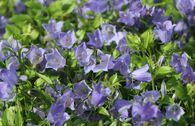 Niedliche Glockenblume 'Bavaria Blue'