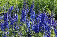 Pacific-Rittersporn 'Blue Bird'