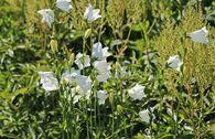 Pfirsichblättrige Glockenblume 'Grandiflora Alba'