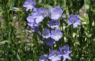 Pfirsichblättrige Glockenblume 'Grandiflora Coerulea'