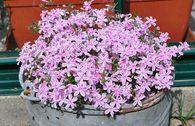 Polster-Flammenblume 'Kimono Pink-White'
