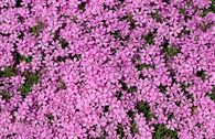 Polster-Flammenblume 'Zwergenteppich'