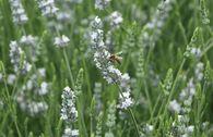 Provence-Lavendel 'Edelweiß'
