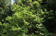 Purpur-Magnolie 'Jane'