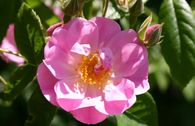 Ramblerrose 'Apple Blossom'