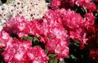 Rhododendron 'Anuschka'