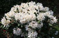 Rhododendron 'Apollonia'