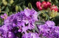 Rhododendron 'Blumiria'