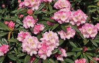 Rhododendron 'Brigitte'
