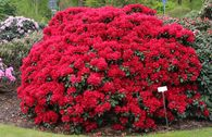 Rhododendron 'Buketta'