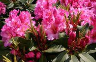 Rhododendron 'Duke of York'