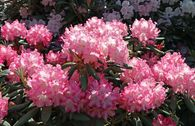 Rhododendron 'Emanuela'