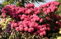 Rhododendron 'Fantastica'